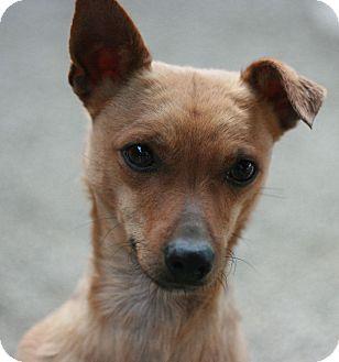 Chihuahua Mix Dog for adoption in Canoga Park, California - Rusty