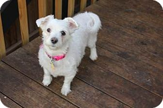 Westie, West Highland White Terrier/Maltese Mix Dog for adoption in Middle Village, New York - STARR