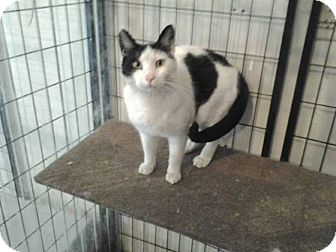 Domestic Shorthair Cat for adoption in Rochester, Minnesota - Padro