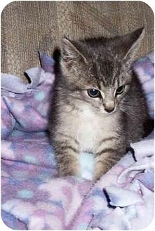 Domestic Shorthair Kitten for adoption in Owatonna, Minnesota - Marty