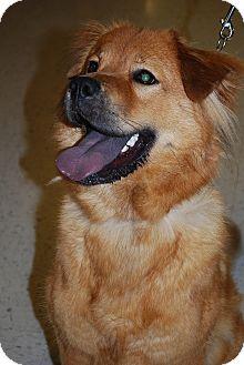 Golden Retriever/Chow Chow Mix Dog for adoption in Richmond, Virginia - Shelley