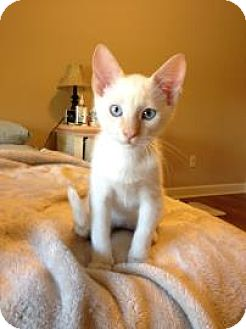 Siamese Kitten for adoption in Des Moines, Iowa - Olaff