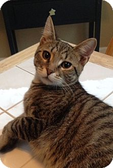 Domestic Shorthair Cat for adoption in Covington, Kentucky - Clyde