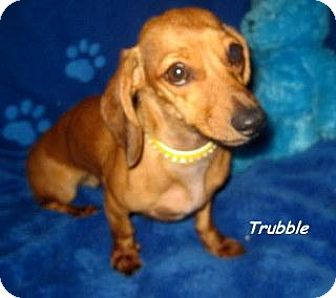 Dachshund Puppy for adoption in Chandler, Arizona - Trubble