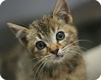 Domestic Shorthair Kitten for adoption in Canoga Park, California - Aurora
