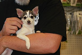Jack Russell Terrier/Papillon Mix Puppy for adoption in Gilbert, Arizona - Gracie
