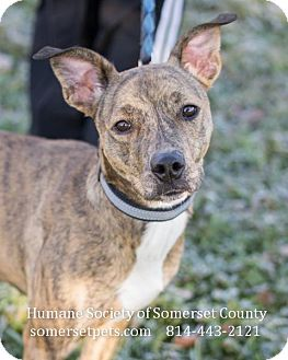 Pit Bull Terrier Dog for adoption in Somerset, Pennsylvania - Cleo