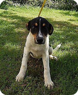 Border Collie/Spaniel (Unknown Type) Mix Dog for adoption in Allentown, Pennsylvania - Blane (POM-EC)