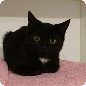 Domestic Shorthair Kitten for adoption in Rochester, New York - Puddin'