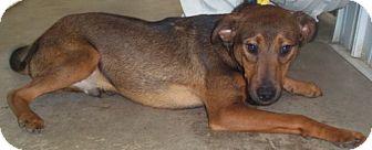 Labrador Retriever Mix Dog for adoption in Greenville, Kentucky - Cletus