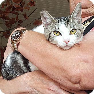 Domestic Shorthair Cat for adoption in Monrovia, California - Pepsi (AKA: Sweetpea)