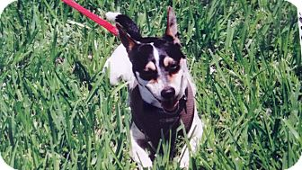 Rat Terrier/Chihuahua Mix Dog for adoption in Palmetto Bay, Florida - Buddy