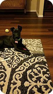 Labrador Retriever Mix Puppy for adoption in Goodyear, Arizona - ivy