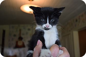 Domestic Shorthair Kitten for adoption in Washington, Pennsylvania - Lyla