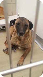 Belgian Malinois/German Shepherd Dog Mix Dog for adoption in Englewood, Colorado - CHLOE