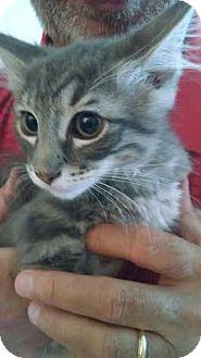 Domestic Longhair Kitten for adoption in Concord, North Carolina - Baker