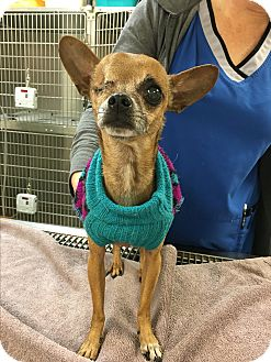 Chihuahua Dog for adoption in Va Beach, Virginia - Capt. Morgan