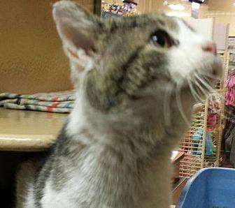 Domestic Shorthair Cat for adoption in Columbus, Ohio - Murray