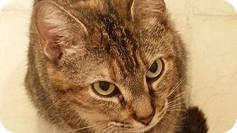 Domestic Shorthair Cat for adoption in Houston, Texas - Renée