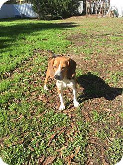 Beagle Dog for adoption in Baton Rouge, Louisiana - Alayna