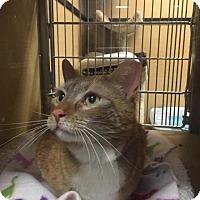 Adopt A Pet :: Socks - Albany, NY