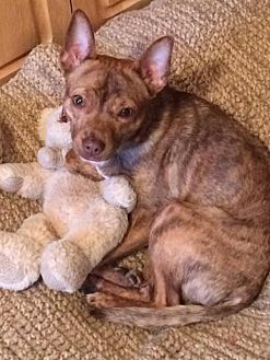 Terrier (Unknown Type, Medium)/Chihuahua Mix Dog for adoption in Mentor, Ohio - Bradley