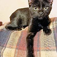 Adopt A Pet :: Shasta - Morganton, NC
