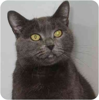 Russian Blue Cat for adoption in West Warwick, Rhode Island - Lizzy