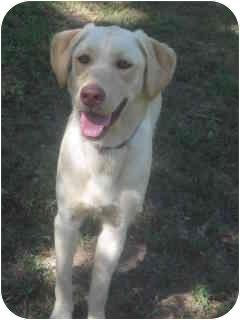 Labrador Retriever Dog for adoption in New York, New York - Cookie