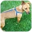Photo 3 - Jack Russell Terrier/Miniature Pinscher Mix Dog for adoption in Kokomo, Indiana - Penne