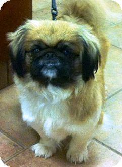 Pekingese Mix Dog for adoption in Oswego, Illinois - I'M ADOPTED Cocoa Puff Rigden