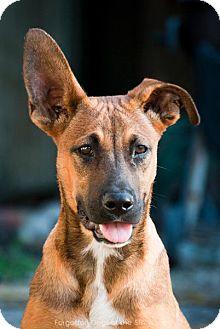 Shepherd (Unknown Type) Mix Dog for adoption in Houston, Texas - Elliot