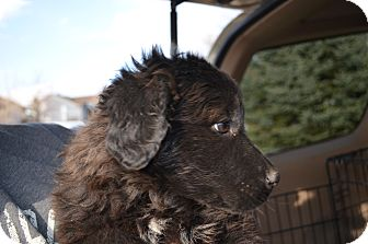 Newfoundland Mix Puppy for adoption in Westminster, Colorado - Rosie