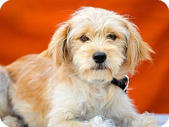 Tibetan Spaniel Mix Puppy for adoption in Los Angeles, California - Ranger
