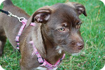 Terrier (Unknown Type, Medium)/Havanese Mix Puppy for adoption in Richmond, Virginia - Nala