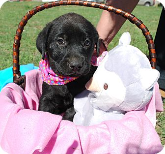 Labrador Retriever Mix Puppy for adoption in White Settlement, Texas - Chloe - adoption pending