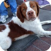 Brittany Mix Dog for adoption in Las Vegas, Nevada - Bali