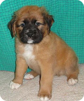 St. Bernard Mix Puppy for adoption in Proctorville, Ohio, Ohio - Nelson