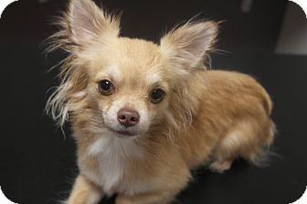 Chihuahua Mix Dog for adoption in Seneca, South Carolina - Gizmo