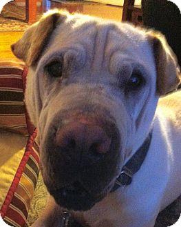 Shar Pei/Labrador Retriever Mix Dog for adoption in Barnegat Light, New Jersey - Magoo