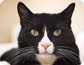 Domestic Shorthair Cat for adoption in Chicago, Illinois - Blake