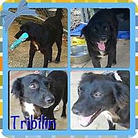 Adopt A Pet :: Tribilin - Toa Alta, PR