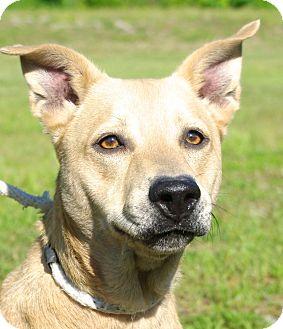 Shepherd (Unknown Type)/Chow Chow Mix Dog for adoption in Daytona Beach, Florida - Riley