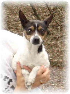 Terrier (Unknown Type, Small)/Chihuahua Mix Dog for adoption in Wyoming, Minnesota - Precious