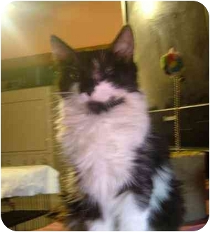 Domestic Longhair Kitten for adoption in Bedford, Massachusetts - Justina