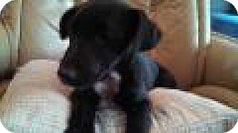 Labrador Retriever/Beagle Mix Puppy for adoption in Warrenton, North Carolina - Amos