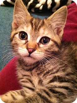 Domestic Shorthair Kitten for adoption in Trevose, Pennsylvania - Beanie