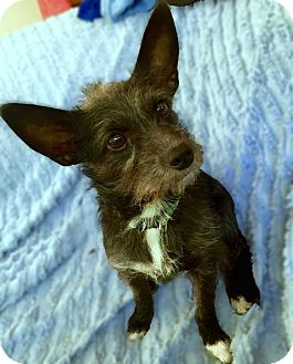 Schnauzer (Miniature)/Cairn Terrier Mix Dog for adoption in Staunton, Virginia - Onyx