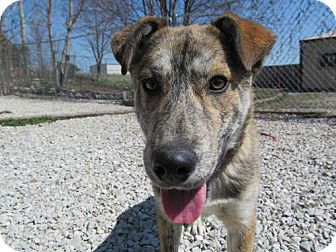 Australian Shepherd Mix Dog for adoption in Newburgh, Indiana - franklin