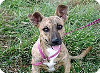 Mountain Cur Mix Puppy for adoption in Salem, New Hampshire - PUPPY SIERRA